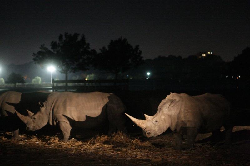 בלילה הם יותר גדולים צילום באדיבות הספארי